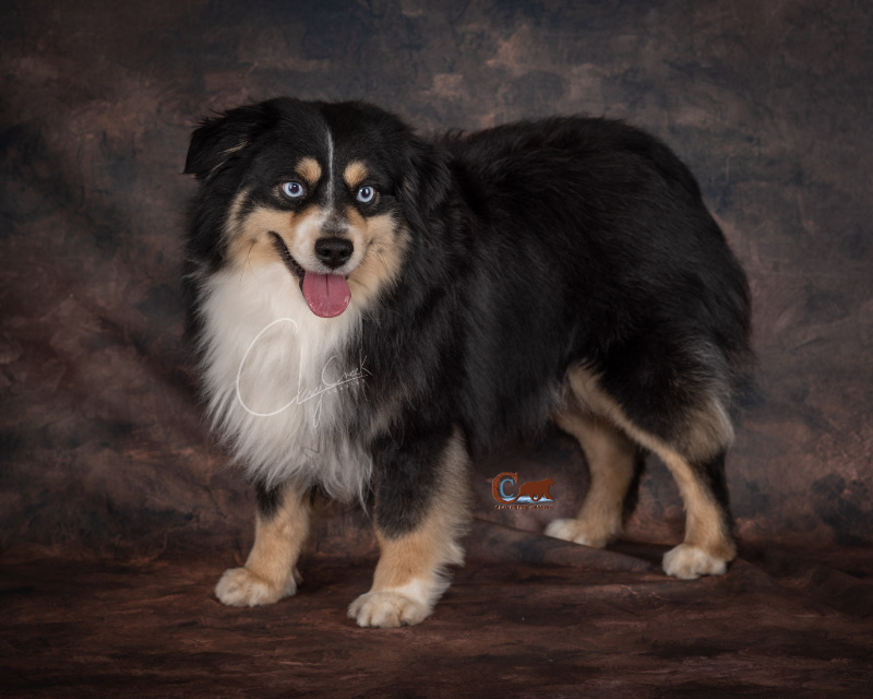 Clay Creek Aussies' Nash is a minimal white double blue eyed black tri with a nice broad head, wide muzzle and great bone structure.